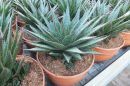 Aloe Black Star T-20