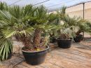 Trithrinax campestris CT-500 lts