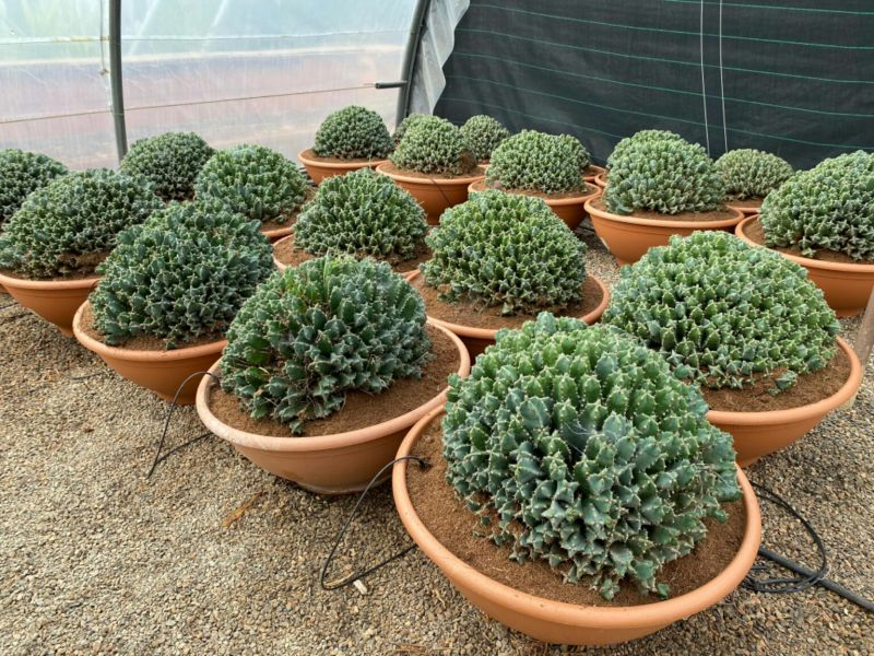 Euphorbia horrida tarrina 50