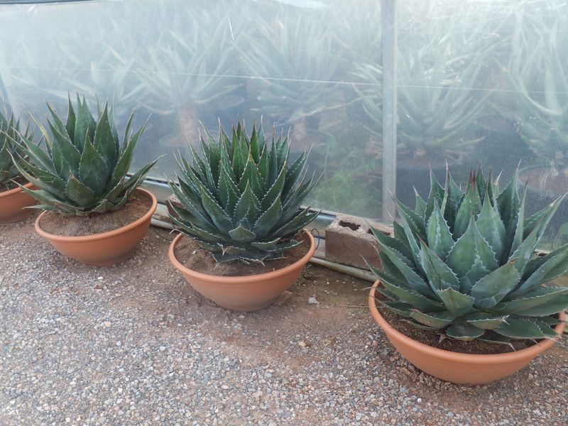 Agave montana T-60